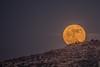 Moon up the Hill (barak.shacked) Tags: ירחמלא blueskyatnight bluehoue yellowmoon supermoon moon rocks ירח nightphotography צילוםלילה moonrise bigmoon rollingmoon moonrising fullmoon nightshoot upthehill luna זריחתהירח moonabovemountain
