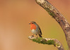 Bob Robin (microwyred) Tags: forestwoods beak nature birds colorimage greencolor oneanimal animal small birdwatching wildlife beautyinnature feather tree animalsinthewild perching bird red closeup branch outdoors abstracts finch robin