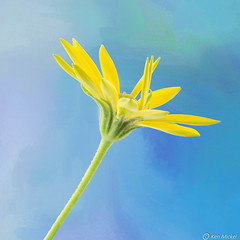 Daisy (Ken Mickel) Tags: africandaisy colors floral flower flowers plants texture textured textures yellow closeup daisy nature upclose