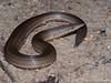 Burton's Legless Lizard - Lialis burtonis (paulajie) Tags: burtons legless lizard lialis burtonis tropical wildlife nature queensland australia townsville fauna micro 43 mft olympus omd omdem1markii