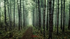 Pine Forest (Milen Mladenov) Tags: 2017 bulgaria d7200 landscape montana autumn fog foggy forest haze hazy mist misteriousforest misty nature nikond7200 pine pineforest teal view
