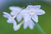 daffodil 3841 (junjiaoyama) Tags: japan flower plant daffodil narcissus white fall autumn macro
