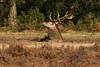 IMG_5759 (Photo-Pas) Tags: edelhert hogeveluwe bronsttijd bronst nationaalparkhogeveluwe