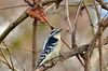 Downy Woodpecker (Astral Will) Tags: bird woodpecker downywoodpecker leaf soft vines eyes endearing