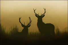 Last light (McRusty) Tags: contre jour back lit light setting sun atmorspheric wild red stag stags antlers silhouette silhouettes beautiful natural outdoor great glen highland scotland