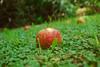 Without Eva Or Adan (Aldi Rodriguez) Tags: apple manzana nature nturaleza life vida wildlife vidasilvestre love amor adanyeva nikon