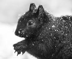 black squirrel (marianna_a.) Tags: pc100656 squirrel fluffy cute animal furry winter snow bw monochrome monochromatic greyscale mariannaarmata canada