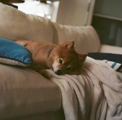 Foxy (marykatharinepayne1) Tags: dog animal pomeranian film hasselblad 120mm galveston
