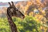 Different angle (JOAO DE BARROS) Tags: joão barros animal giraffe