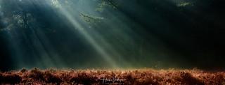 Sunbeams above heather field
