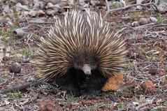 Echidna- wild (Tachyglossidae) (johnedmond) Tags: perth westernaustralia echidna anteater monotremata nature wildlife sel55210 55210mm sony ilce3500