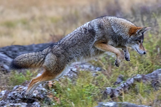 Coyote pouncing on prey