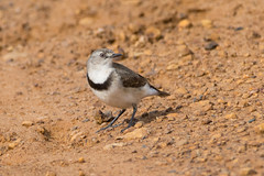 White-fronted Chat female (Epthianura albifrons) (Keefy2014) Tags: whitefronted chat female epthianura albifrons