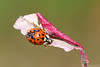 Blemished (Vie Lipowski) Tags: ladybug ladybird ladybeetle insect bug beetle sumac autumn leaf blemished disfigured misshapen imperfection wildlife nature macro