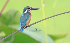 6F8A8191 Common Kingfisher (EricBronson's Photography) Tags: commonkingfisher nature bird