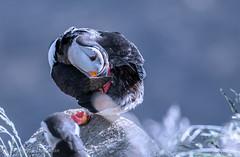 puffin (barragan1941) Tags: aves frailecillo islandia