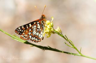 Chalcedon checkerspot butterfly (Euphydryas chalcedona)