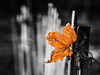 maple leaf (marianna_a.) Tags: maple leaf yellow orange bright blackandwhite fence wooden slats p1620780 mariannaarmata