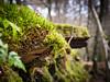 a mossy wall in Birnam Wood (grahamrobb888) Tags: nikon nikond800 nikkor nikkor50mmf18 perthshire scotland birnamwood wall moss ruin forest