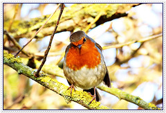 Erithacus rubecula Robin (pete Thanks for 5 Million Views) Tags: hwcp lumix park taskday wickedweasel winter robin tree mistle thrush