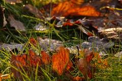 Backlight (Steenjep) Tags: blad leaf løv lys light backlight morgen morning frost frozen