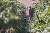 tenute_Lombardo_vini1_b (walterlocascio) Tags: vendemmia sicilia sancataldo tenutelombardo reportagevendemmiasiciliana vinosiciliano viti vigne