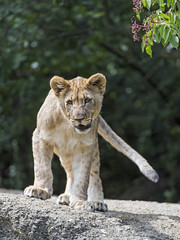 Cub standing on the rock (Tambako the Jaguar) Tags: lion big wild cat cub young female lioness standing rock stone portrait tail basel zoo zolli switzlerland nikon d5