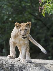 Cub standing on the rock (Tambako the Jaguar) Tags: lion big wild cat cub young female lioness standing rock stone portrait tail basel zoo zolli nikon d5 switzerland