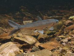 """Male rainbow smelt, freshwater form • <a style=""""font-size:0.8em;"""" href=""""http://www.flickr.com/photos/142691167@N05/26349260489/"""" target=""""_blank"""">View on Flickr</a>"""