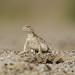 Forsyth' s Toadhead Agama (Phrynocephalus forsythii)