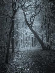 silence (cébé céline) Tags: paysage forêt automne sentier brume branches arbres montréal matin bois stratus montroyal mountain mornig path forest wood trees foggy nikond7200 nb bw