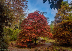 Autumn Acer (PRPhoto dot Wales) Tags: canon eos lightroomclassic pembrokeshire pictoncastle wales lightroom photograph prphoto tree sky autumn fall orange red colourful woodland forest woods acer baldcypress leaves foliage stream rhododendron botanic garden travel
