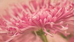 Pink Mum (anitabower) Tags: mum chrysanthemum pinkmum pinkchrysanthemum pinkflower macro floral floralmacro longwoodgardens