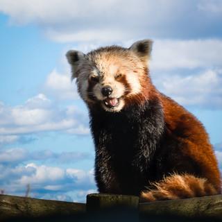 Laughing Red Panda