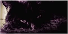 Next door neighbours cat (Bobinstow2010) Tags: arty topaz photoshop fur black pussy purple
