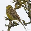 Yellowhammer ( female ) at Nene Park. (johnatkins2008) Tags: yellowhammer countryside birds wildlife photography meadow treetop nenepark ferrymeadows johnatkins2008