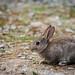 Little+bunny