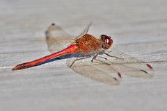 Ruby Meadowhawk (Just and Old Geezer) Tags: