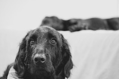 Don't Wake the Baby (SkyeHar) Tags: eyecatcher smileonsaturday dog dogs monochrome bw bokeh blackwhite labrador labradorretriever labradoodle hunde pet perro chien sonya6300 a6300 sel50f18s noiretblanc pov highkey