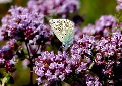 Chalkhill Blue 'Polyommatus coridon' on Wild Majoram (Helen:) Tags: astonrowantnaturereserve