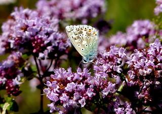 Chalkhill Blue 'Polyommatus coridon' on Wild Majoram