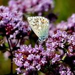 Chalkhill Blue 'Polyommatus coridon' on Wild Majoram thumbnail