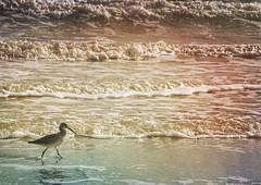 Pluvier sur la plage