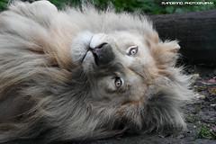 White lion - Olmense Zoo (Mandenno photography) Tags: dierenpark dierentuin dieren animal animals white whitelion lion lions leeuw owen olmense olmensezoo olmen belgie belgium bigcat big cat balen