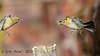 xxD40_3064 (Eyas Awad) Tags: eyasawad nikond4 sigma500f45 bird birds birdwatching wildlife nature peppola fringillamontifringilla fringuello fringillacoelebs