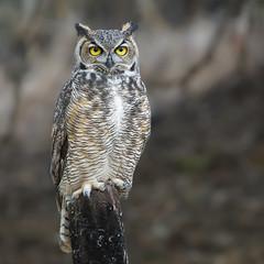 Great Horned Owl Juvenile on Post (vishalsubramanyan) Tags: owl goh greathornedowl bird raptor birofprey nikon d500 300mf4 14tc wildlife nature naturephotography wildlifephotography california norcal