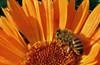 Bee and flower (TJ Gehling) Tags: insect hymenoptera bee apidae honeybee apis plant flower asterales asteraceae calendula communitygarden fairmontpark centennialpark elcerrito