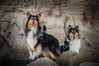 Leia and Nora, we almost have it (shila009) Tags: leia nora perro dog roughcollie dogs perros happydogs salines portrait sisters tricolor rocks background smile beach playa stones rocas airelibre natural