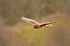 Northern Harrier Hunting (CindyFullwiler Nature Photography) Tags: northern harrie birds prey raptors olympic peninsula sequim washington