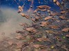 Tadpoles in the Cloud (Phil's 1stPix) Tags: econfinacreekcanoetrail northwestfloridawatermanagmentdistrict nwfwmd baycountyflorida underwater snorkel dive florida nature wildlife floridasprings floridanature naturalecosystem geotag geotagged freshwater floridapanhandle wildflorida creativecommonsnature ecosystem northwestfloridawatermanagementdistrict floridawildlife phils1stpix firstpix unitedstates usa floridaunderwater floridasnorkeling floridaspringssnorkeling photoscape amphibian tadpole tadpolebehavior floridaspringecosystem tadpolenursey adobelightroom6 econfinacreeksprings realflorida washingtoncountyflorida washingtonbluespriings econfinacreekbluesprings econfinabluesprings econfinacreekwatermanagementarea bluespringseconfinacreek bluespringswashingtoncountyflorida floridaecosystem olympusunderwater freshwatersprings adodelightroom6 econfinabluespringscave econfinabluespringsrecreationarea floridatadpole sealifeseadragon2000underwaterlight